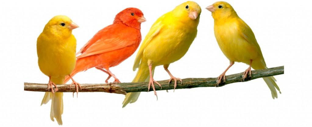 alimentos-para-canarios