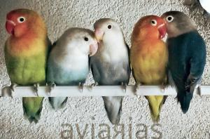 Aviarias Agapornis