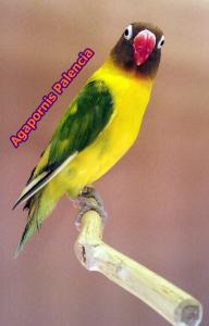 aviario palencia agapornis