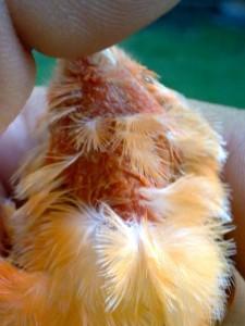 plumas aves enfermas vitaminas