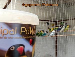 Pasta-cría-agapornis