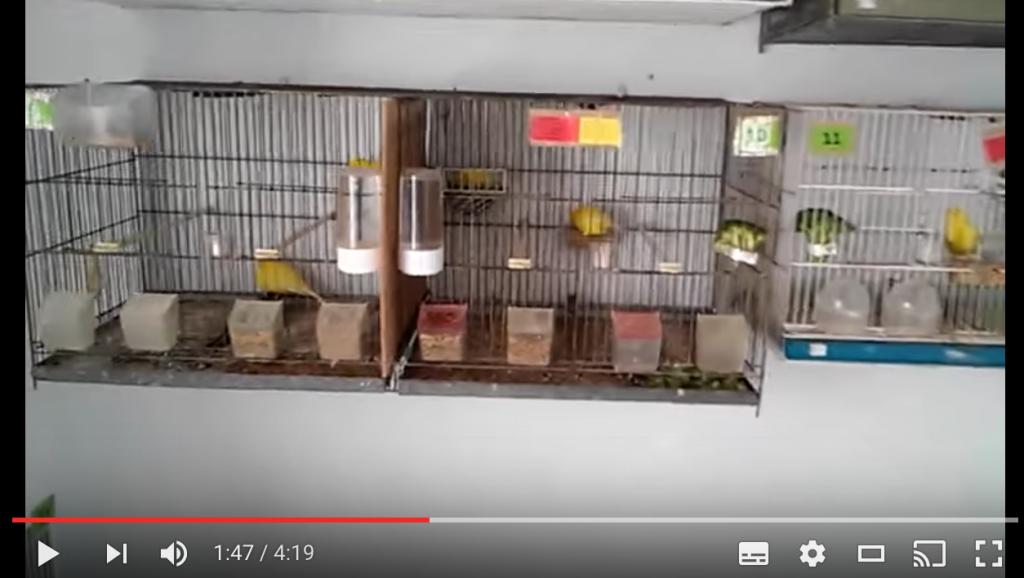 después de criar canarios