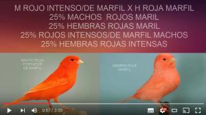 emprarejar-canarios-rojo-intensos