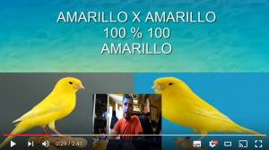 Canarios Combinar crias colores