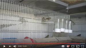aviario-canarios-youtube