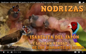 Isabelita-del-japon-diamante-de-gould