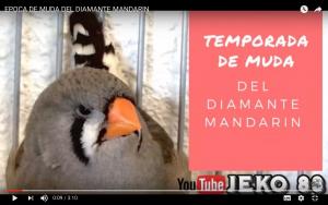 temporada-muda-diamante-mandarin